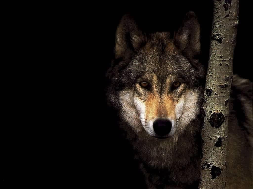 Loups_07_1024x768