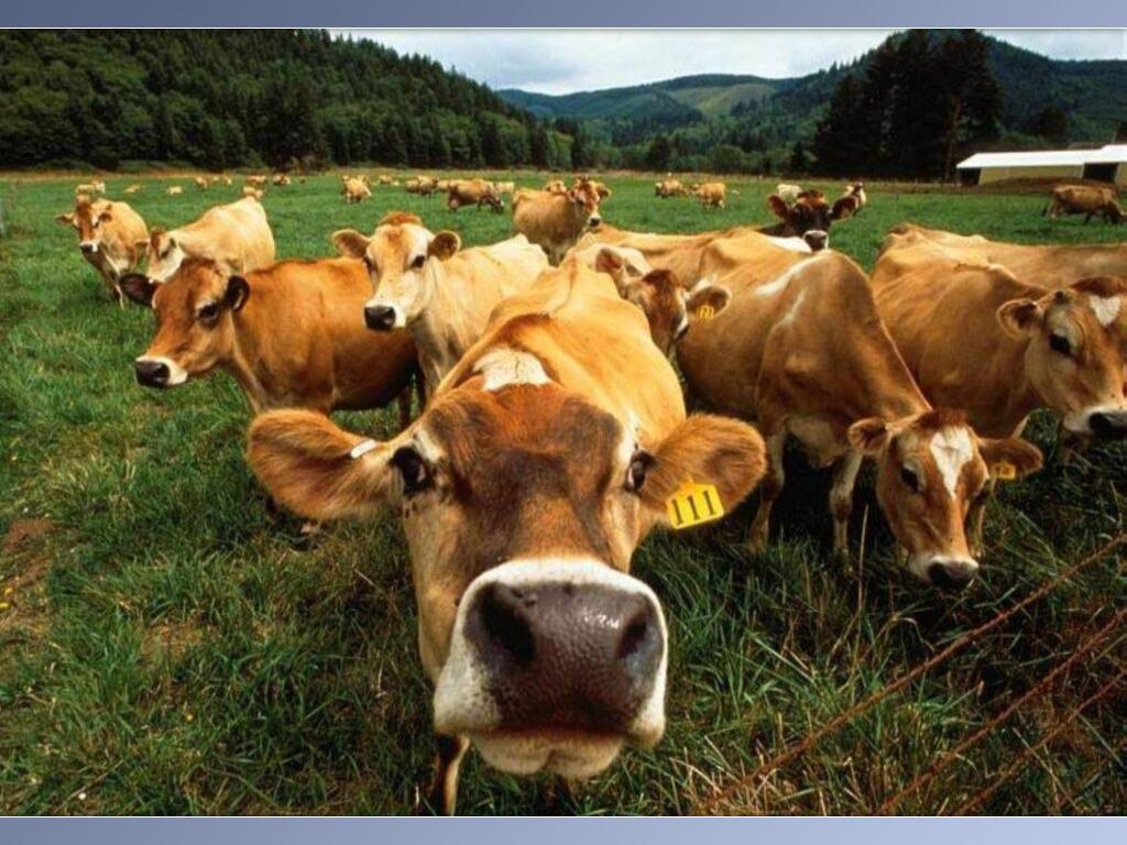 fond d'ecran vache